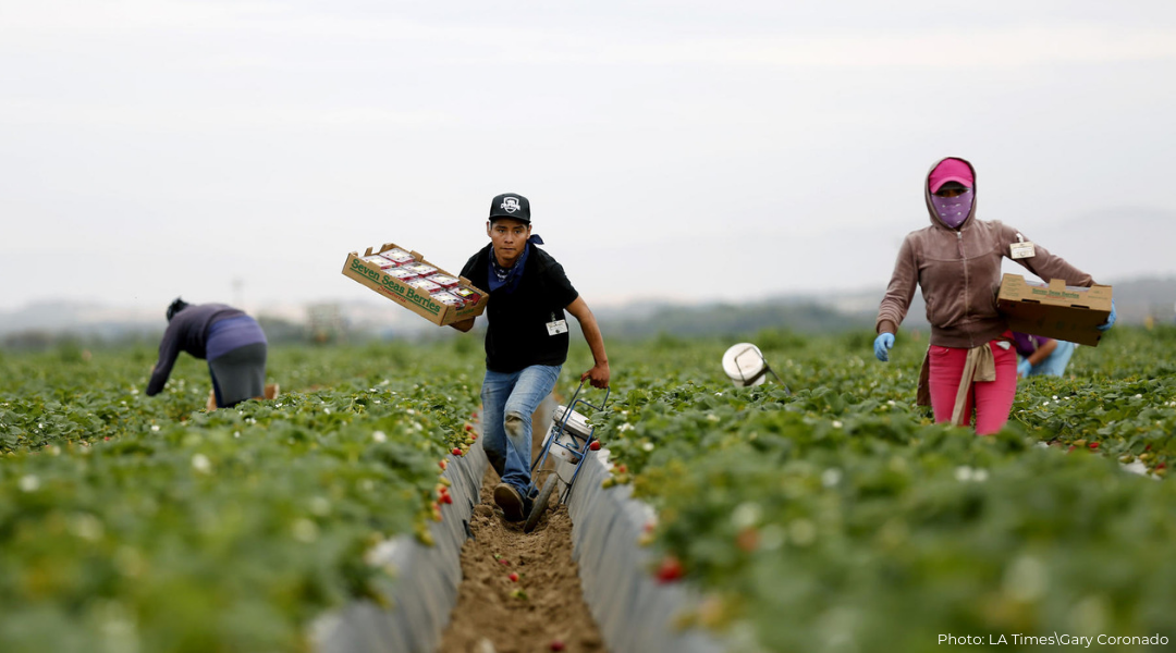 Male Latino migrant day laborers in the field working